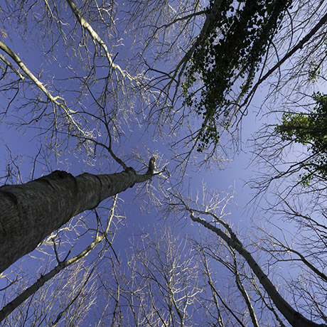 Photo looking up at trees stretching into a blue sky